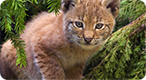 Wild Cat Breeds Photo Quiz: Do you know your cats?