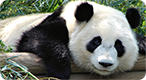 Giant Panda Trivia Quiz: Are you a panda expert?
