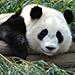Giant Panda Trivia Quiz