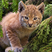 Wild Cat Breeds Photo Quiz